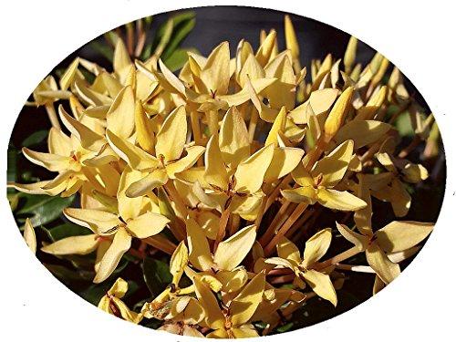 Yellow Dwarf IXORA Miniature Taiwanensis Tropical Low Growing Flowering Shrub Live Plant Starter Size 4 Inch Pot Emerald tm (Best Low Growing Shrubs)