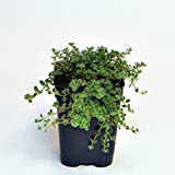 Miniature Fairy Garden Thymus pseudolanuginosus, Wooly, Thyme