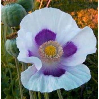 Amazon tasmanian blue moon poppy 200 seeds beautiful large tasmanian blue moon poppy 200 seeds beautiful large white purple flowers mightylinksfo