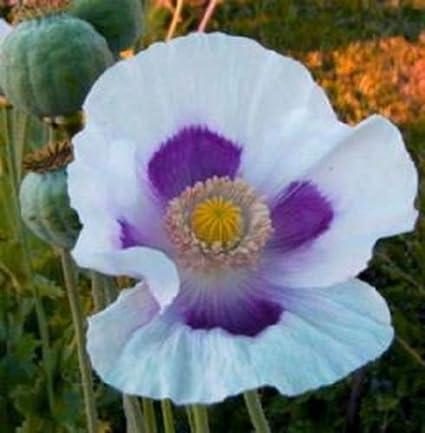 Amazon.com : Tasmanian Blue Moon Poppy 200 Seeds Beautiful Large ...