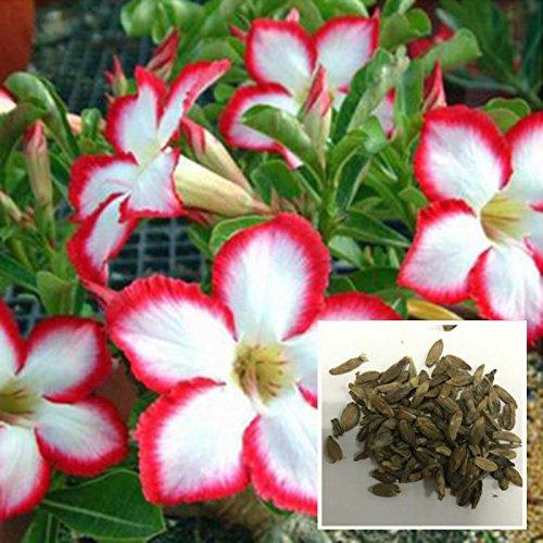 Aprettysunny 50Pcs//Bag Bonsai Adenium Obesum Seeds Desert Rose Perennial Flower Supply DIY