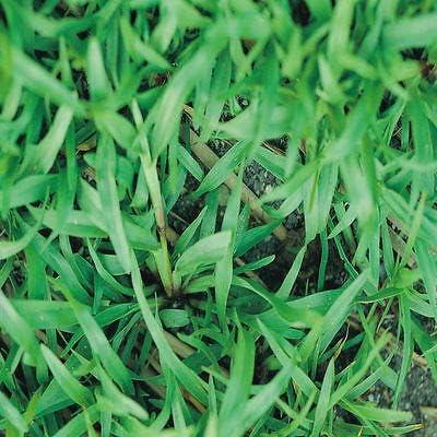 Amazon Com Carpetgrass Seeds Coated 2 Lbs Carpet Grass Seed Garden Outdoor