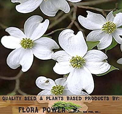 White Flowering Dogwood, Flowering Dogwood, Older Bark Has Alligator Hide Appearance That Is Very Attractive In Winter Landscape - Cornus florida Northern TREE Seeds - Zones 5+, Tree Seeds from Flora Power by Red Pine, Inc.