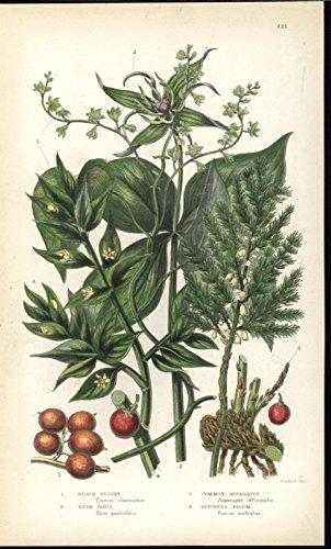 Black Briony Common Asparagus c.1860 antique color lithograph Botany print