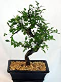 Chinese Elm Bonsai Tree - Medium by Bonsai Boy