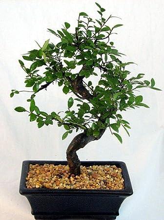 Amazon.com : Chinese Elm Bonsai Tree - Medium by Bonsai Boy : Live ...
