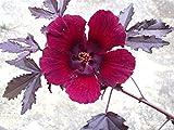 Hibiscus acetosella rare cranberry False roselle medicinal Edible plant 15 seeds