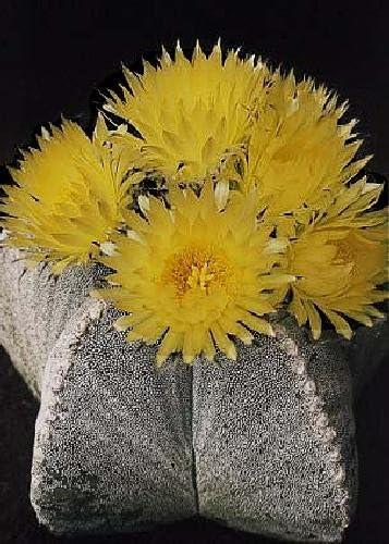 25 Graines Astrophytum myriostigma-Les évêques Cap Cactus