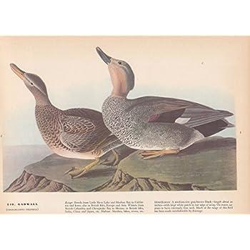 """1937 Vintage AUDUBON BIRD #482 /""""MORTON/'S FINCH/"""" Color Art Print Plate Lithograph"""