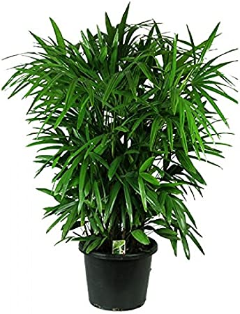 Amazon.com : Rhapis Home or Office Plant 10 Seeds Lady Palm ... on herb plants for home, vine plants for home, potted plants for home, tropical plants for home, water plants for home, decorative plants for home, indoor plants for home,