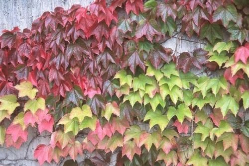 Parthenocissus Tricuspidata 3 Boston Ivy Live Plants