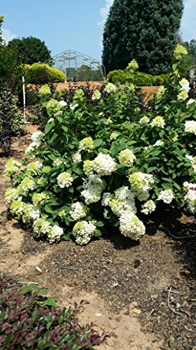 (3 gallon) SILVER DOLLAR Hydrangea , Stunning Show of Lots and Lots of White Blooms, Dwarf Version of PG Hydrangea, Sun Loving also Good for Cold Zones, Can Grow in Variety of Climates