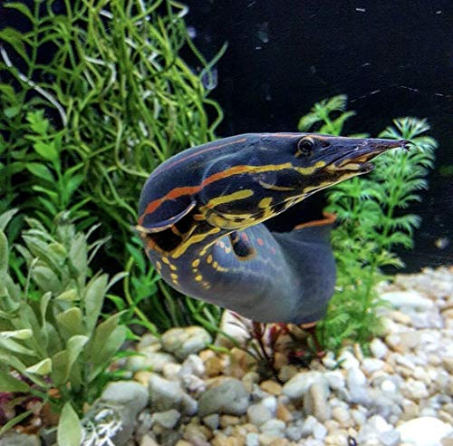 - Siam Live Aquarium 1 Beautiful FIRE EELS 8