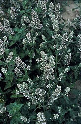 Herb Seeds - Catnip Lemon Scented Seeds