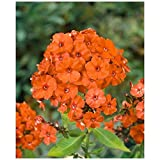 Phlox paniculata ''Orange Perfection'' (3 roots), Summer Phlox (Plant/ Root)