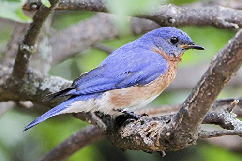 Bluebird print on lustre paper. Home or office wall décor. 5x7, 8x10. 11x14. Nature fine art featuring bluebird's vibrant blue and coral colors. by Eighty Acres Photography