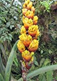 Guzmania teuscheri | 10_Seeds TO US