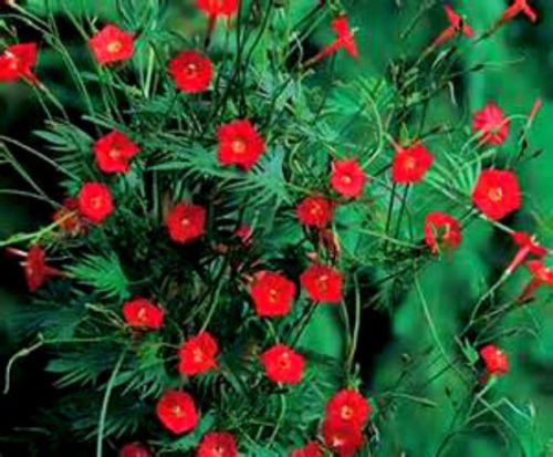 Cardinal Climber Vine! 15 Seeds! Hummingbirds Love This Vine! Comb. S/H! WOW! (Hummingbird Vine)