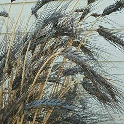 Toyensnow - Wheat Black Knight Ornamental Grass Seeds (Triticum Aestivum) (80+ Seeds) : Garden & Outdoor