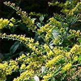 Fireworks Goldenrod> Solidago rugosa 'Fireworks'> Landscape Ready 1 gallon Container