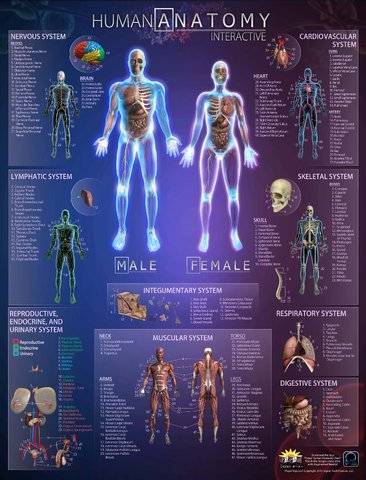 Amazon Sciencelab Human Anatomy Interactive 3d Poster W