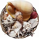 Large Shells Fruits of the Sea Jumbo Pack in a Wicker Basket 10 (25cm) by Homeshop3000