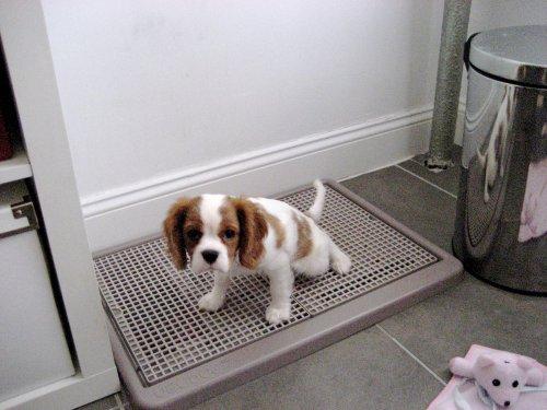 dog indoor potty