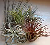 Tillandsia Assorted Large Live Air Plants-Low-Maintenance House Plants for Indoor Decoration (5-Pack Assortment) by CTS Air Plants