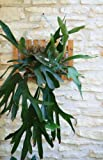 "Staghorn Fern - 7"" Mounted"