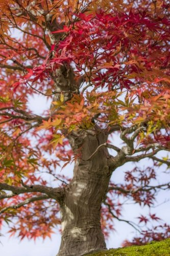 Japanese Maple Tree Changing Colors Journal: Take Notes, Write Down Memories in this 150 Page Lined Journal