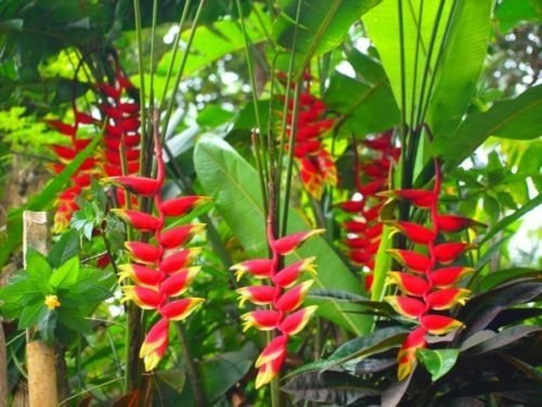 (Heliconia Rostrata Lobster Claw False Bird of Paradise 5 RARE Seeds)