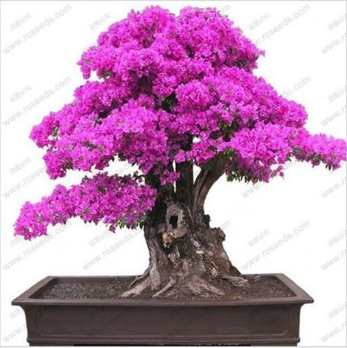 20 PCS purple Bougainvillea Bonsai Seeds F92 F93, Garden Flower Blooming Bougainvillea Bonsai