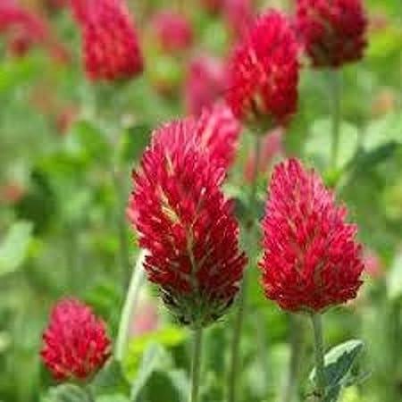 Amazon.com: 100 semillas de flor de trébol rojo / perenne: Jardín y  Exteriores