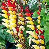 Outsidepride Mina Lobata - 100 Seeds