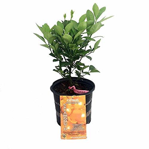 Miniature Orange Tree - Calamondin -8 Pot-NO SHIPPING TO TX, FL, AZ, CA, LA, HI