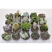 Cactus y crasa (maceta 5,5 cm ø) variado
