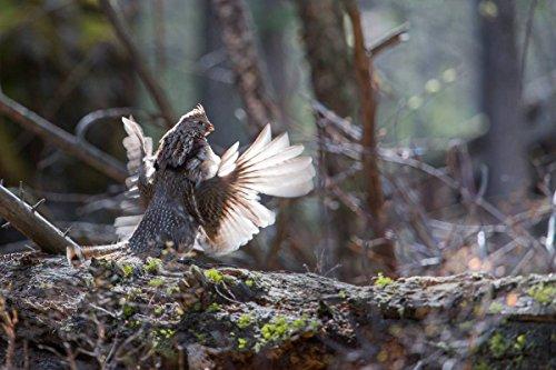 Yellowstone National Park Photo - Ruffed grouse Drumming - Photographer: Neal Herbert - Giclee Photographic Art Print