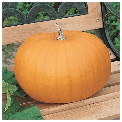 Field Pumpkin - Everwilde Farms - 1 Lb Connecticut Field Pumpkin Pumpkin Seeds - Gold Vault