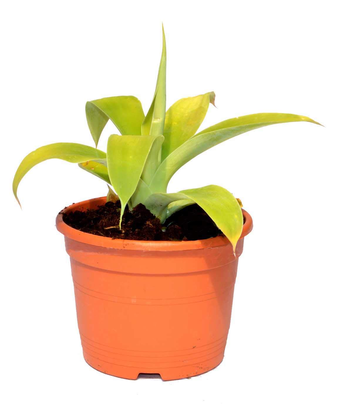 Agave attenuata planta crasa resistente a la sequ/ía