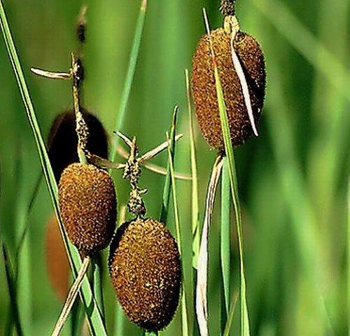 Zwergrohrkolben / Typha Minima im 9x9 cm Topf WFW wasserflora