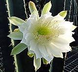 """Night Blooming Cereus Cactus - Cereus peruvianus - 6"""" Pot"""