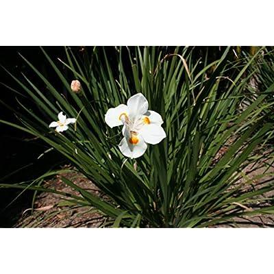 African Iris White - 60 Live Plants - Dietes Iridioides - Drought Tolerant Groundcover Grass : Garden & Outdoor