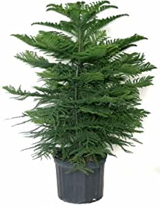 "Norfolk Island Pine, 14"" 5 to 6' tall"