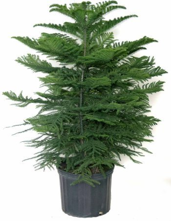 Norfolk Island Pine, 10'' Pot 3-4' Tall by Garden Goods Direct