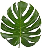 Swiss Cheese Plant Monstera deliciosa in 6cm Pot Starter Plant