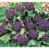SeeKay Broccoli Purple Early Sprouting Appx 800 seeds