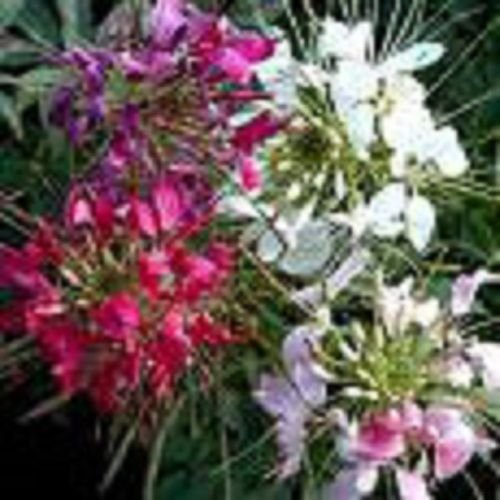 ME/SPIDER FLOWER SEEDS / PERENNIAL ()
