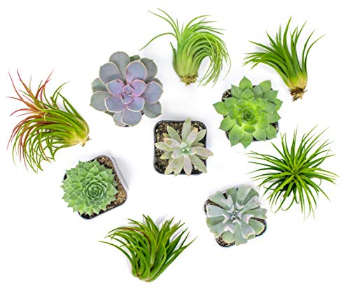 Succulent Air Plant Combo Pack | 5 Succulents and 5 Airplants | Real Live Home Decor House Gift | Indoor Mix Pack | Rooted in Pots by Plants for Pets by Plants for Pets (Image #2)