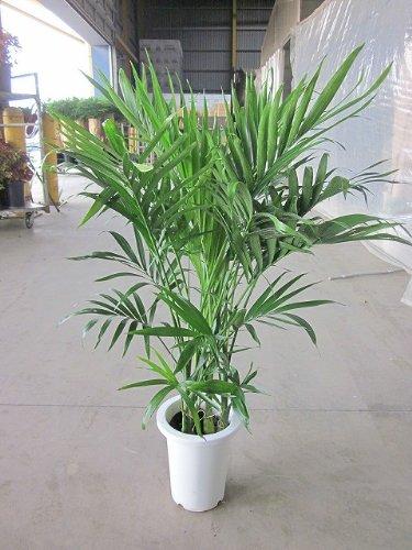 ケンチャヤシ 7号 メキシコ 観葉植物 B00BSOPQTM