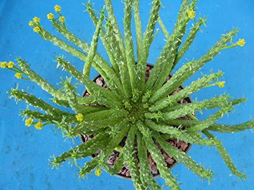 Euphorbia flanaganii''Medusa Head'' Succulent Beauty Nice! 9'' Wide 6'' Pot Size Z3 by SS0160 (Image #1)